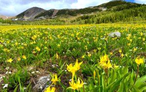 天国が本当にあるならこんな所?黄色い絨毯の高原「ヒーリーメドウ」